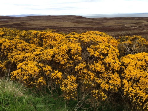 Gorse in full bloom