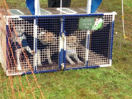 Terrier racing 1