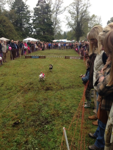 Terrier racing 3