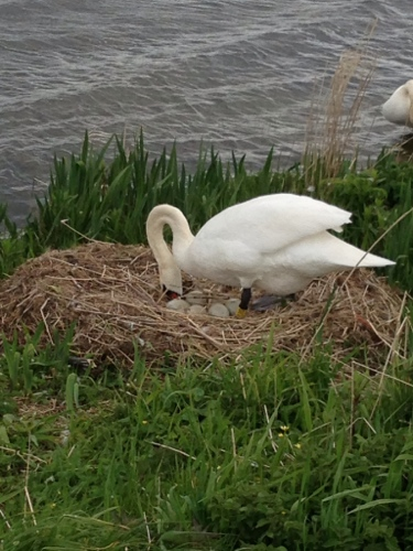 Nesting swan 1