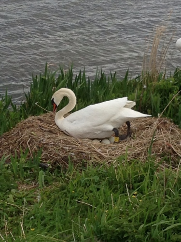 Nesting swan 2