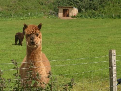 Llamas on patrol