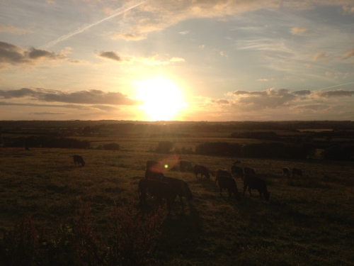 Sun going down over some cows
