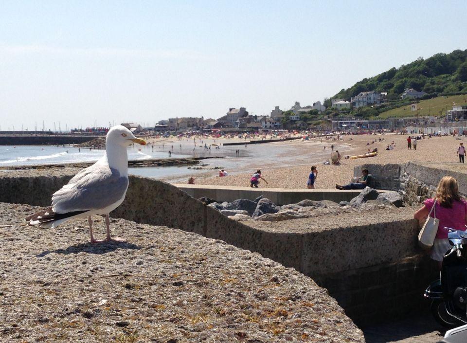 Lyme Regis - Seagull