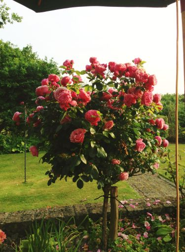 A rose bush at Mum and Dad's