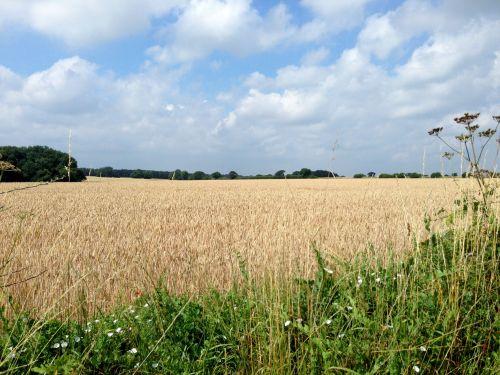 Back in Norfolk - ripening corn